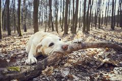 Playful dog in forest. Labrador retriever biting large stick Stock Photography
