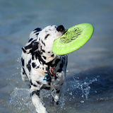 Playful dog Stock Photography