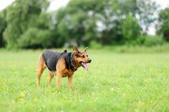 Playful dog on green grass Stock Photos