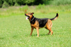 Playful dog on green grass Royalty Free Stock Images