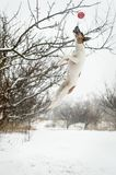 Playful dog jumping for the ball in the winter garden. Playful dog jumping for the ball in the winter garden Stock Images