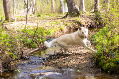 Playful dog jumping over creek Royalty Free Stock Images