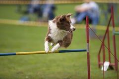 Playful dog jumping Royalty Free Stock Photos
