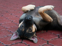 Playful dog. Lying on the floor Stock Images
