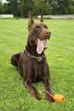 Playful dog, Red Doberman Pinscher. On a grass field Royalty Free Stock Image