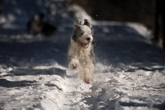 Playful dog running in snow Royalty Free Stock Image