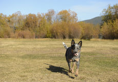 Playful dog. Runs with a ball in its mouth stock photography