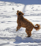 Playful dog in the snow Royalty Free Stock Photos