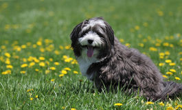 A playful dog is taking a rest. A playful havanese dog is taking a rest after playing hard stock images