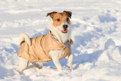 Playful dog wearing warm coat standing on snow Royalty Free Stock Image