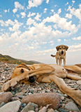 Playful Dogs On The Beach Royalty Free Stock Photos