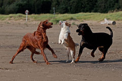 3 playful dogs on the beach 10 Stock Image