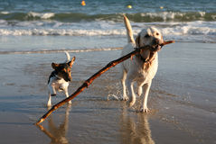 Dogs Playing on Beach with Stick. Labrador and Jack Russell dogs playing with a stick on the beach. Some motion blur on terrier Royalty Free Stock Photography