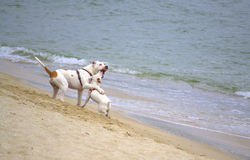 Playful dogs on the beach Stock Images