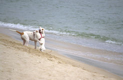Playful dogs on the beach Stock Image