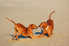 Playful dogs Royalty Free Stock Photo