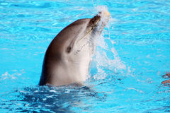 Playful dolphin Royalty Free Stock Photo