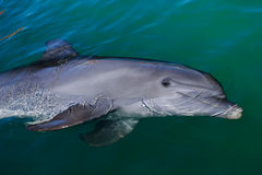 Playful dolphin Royalty Free Stock Photography