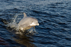 Playful Dolphin royalty free stock photos