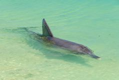 Playful dolphin - Monkey Mia. A playful dolphin in the shallow water of the beach - Monkey Mia, WA, Australia stock image