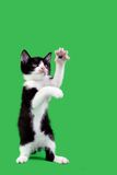 Playful Domestic Cat Cutout Stock Photo