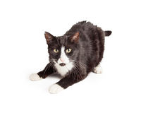 Playful Domestic Shorthair Mixed Breed Cat Stock Image