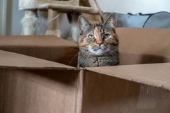Playful domestic Tortoiseshell cat poses in a brown cardboard box. Tortoiseshell cat poses in cardboard box. Tortoiseshell is a cat coat coloring named for its stock photo