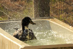 Playful Duck Royalty Free Stock Photo