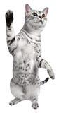 Playful Egyptian Mau Cat Stock Photos