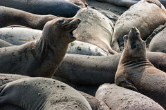 Playful Elephant Seals Royalty Free Stock Images