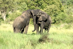 Playful elephants. We saw these playful animals in the Sabi Sands Reserve. There was a mud pool nearby that's  way they are wet Royalty Free Stock Image