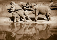 Playful elephants Stock Images