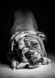 Playful English bulldog pup in black and white Stock Photos