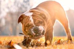 Playful english bulldog Royalty Free Stock Image