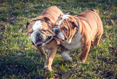 Playful English bulldogs Stock Image
