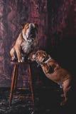 Playful English bulldogs Stock Photography