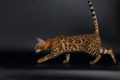 Playful Female Bengal Cat Stock Image