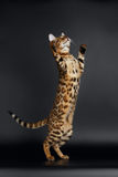 Playful Female Bengal Cat stands on Rear Legs Stock Photography