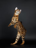 Playful Female Bengal Cat stands on Rear Legs Royalty Free Stock Images