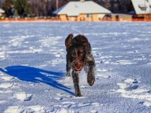 A playful female dog running in snow and enjoy it. A Bohemian Wire-haired Pointing Griffon or korthals griffon jumping and frolick. Outdoor, on some meadow stock image