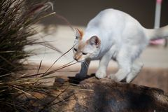 Playful flame point kitten in the garden! royalty free stock photography