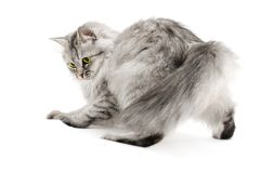Playful fluffy cat Royalty Free Stock Photo