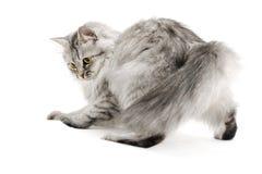 Playful fluffy cat Royalty Free Stock Photo