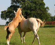 Playful Foal. Young palomino colt rearing and climbing on his patient mother, practicing his stallion skills Royalty Free Stock Photo