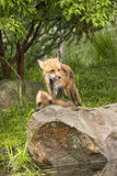 Playful Foxes Fighting Royalty Free Stock Photography