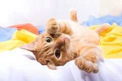 Playful foxy cat. Lying on the colorful textiles. Soft-focused, focus on eyes Royalty Free Stock Photo