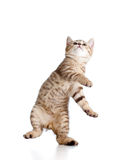 Playful funny cat on white background Royalty Free Stock Photography