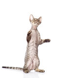 Playful funny kitten. isolated on white background Stock Photo