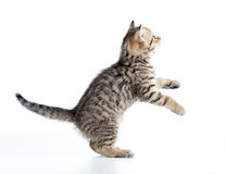 Playful funny kitten Stock Photography