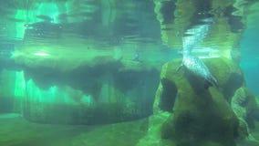 Playful fur seals stock footage